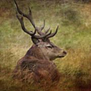 Red Deer  Cervus Elaphus Art Print