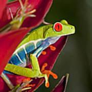 Red Eyed Tree Frog 2 Art Print