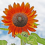 Red Face Sunflower At Olympia Art Print