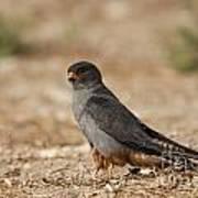 Red Footed Falcon Falco Vespertinus Art Print