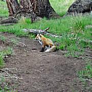 Red Fox In Yellowstone Art Print