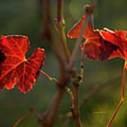 Red Grape Leaves Art Print