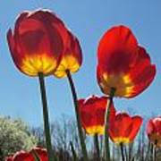 Red Tulips With Blue Sky Background Art Print