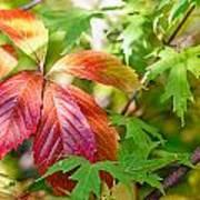 Red Viginia Creeper And Maple Leaves Art Print