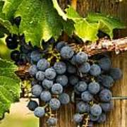 Red Wine Grapes Art Print