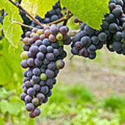 Red Wine Vineyard 2 Art Print