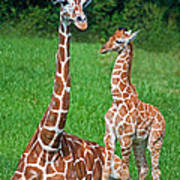 Reticulated Giraffe Calf With Mother Art Print