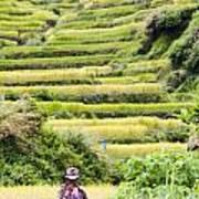 Rice Terraces Art Print