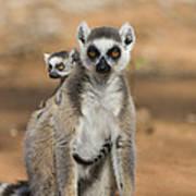 Ring-tailed Lemur And Baby Madagascar Art Print