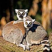 Ring Tailed Lemur Art Print
