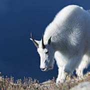 Rocky Mountain Goat Art Print