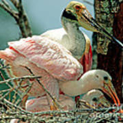 Roseate Spoonbill Adult With Young Art Print