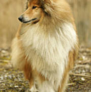 Rough Collie Dog Art Print