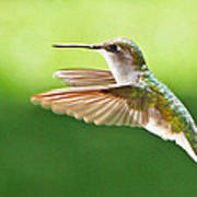 Ruby-throated Hummingbird Art Print