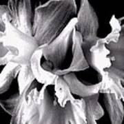 Ruffled Daffodils  Art Print