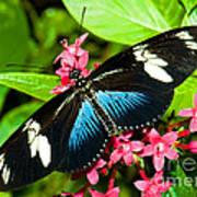 Sara Longwing Butterfly Art Print