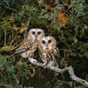 Saw-whet Owls Art Print