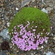Saxifrage (saxifraga Oppositifolia) Art Print