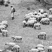 Shepherd With Sheep  Art Print