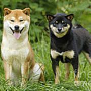 Shiba Inu Dogs Art Print