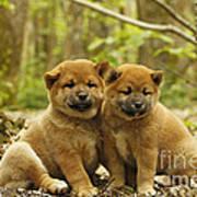 Shiba Inu Puppies Art Print