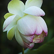 Shy Lotus Art Print