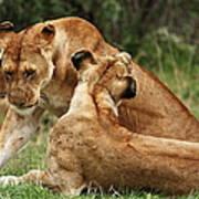 Sociable Lions   Art Print