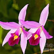 Sophronitis Orchid Art Print