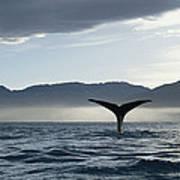 Sperm Whale Physeter Macrocephalus Art Print