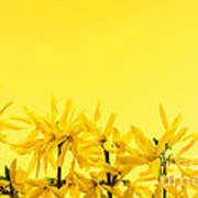 Spring Yellow Forsythia  Art Print