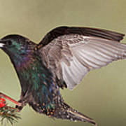 Stanley The Starling Art Print