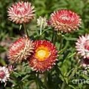 Straw Flowers Xerochrysum Bracteatum Art Print