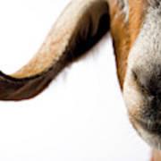 Studio Portrait Of A Mixed-breed Goat Art Print
