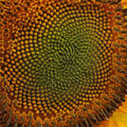 Sunflower Closeup Art Print