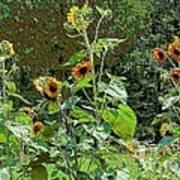 Sunflower Garden Art Print