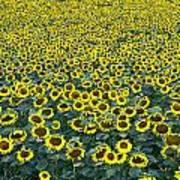 Sunflower Nirvana 13 Art Print