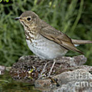 Swainsons Thrush Art Print