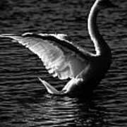 Swan Wingspan Art Print