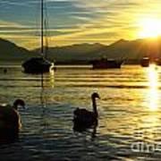 Swans In Sunset Art Print
