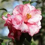 Sweet Camellia Art Print