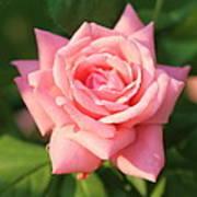 Sweet Pink Rose Art Print by Carol Groenen