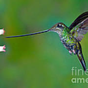 Sword-billed Hummingbird Art Print