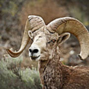 The Bighorn Art Print