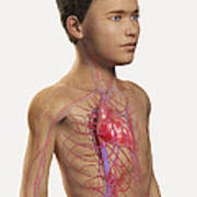 The Cardiovascular System Pre-adolescent Art Print