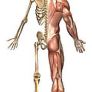 The Human Skeleton And Muscular System Art Print