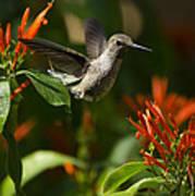 The Hummingbird Hover  Art Print