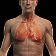 The Respiratory And Cardiovascular Art Print