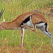Thomson's Gazelle Art Print