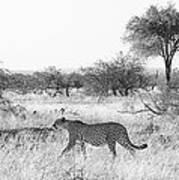 Three Cheetahs At Mashatu Art Print