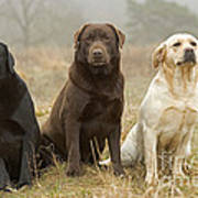Three Kinds Of Labradors Art Print